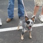 cattle dog puppy